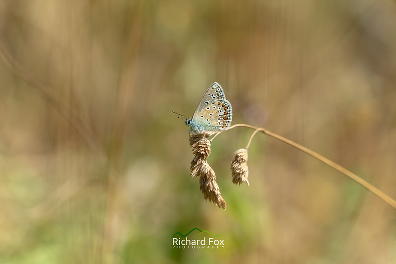 Common Blue Butterfly ♀
