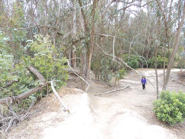 P1040187 Ellwood mesa cez trees