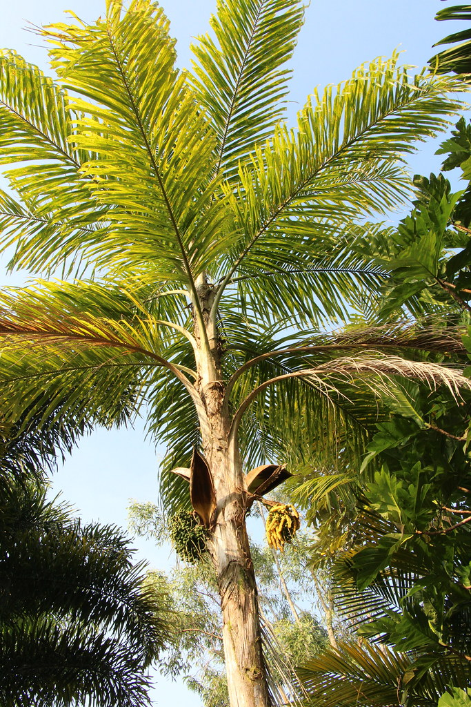 Bactris gasipaes tree