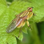 Gelbe Dungfliege (Common Yellow Dung Fly, Scathophaga stercoraria)
