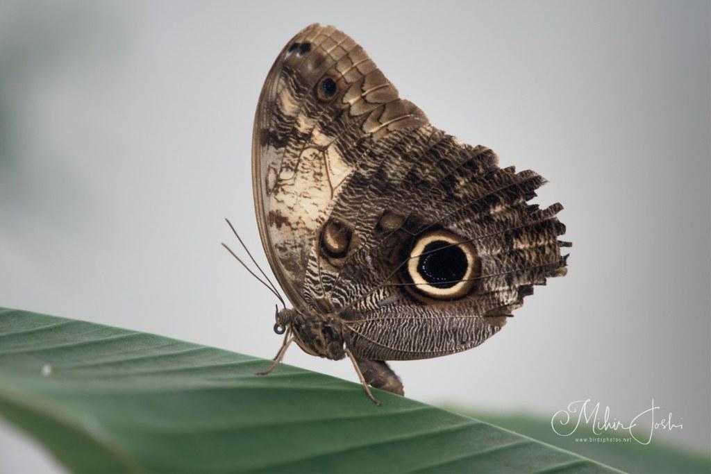 Giant owl (Caligo memnon)