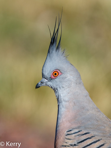 2018 birds bendigo australia vic lophotes headshot adult pigeoncrested ocyphapslophotes