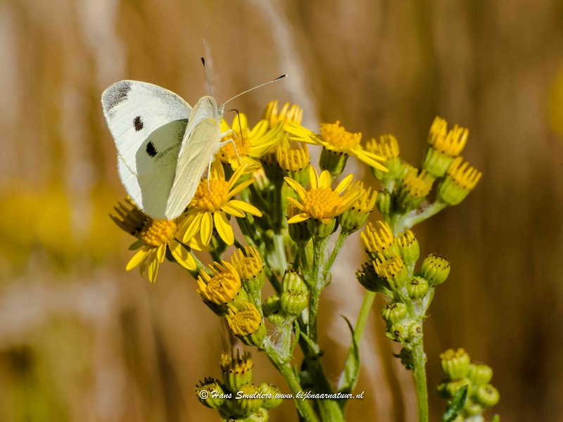 Klein koolwitje (Pieris rapae)-818_5051