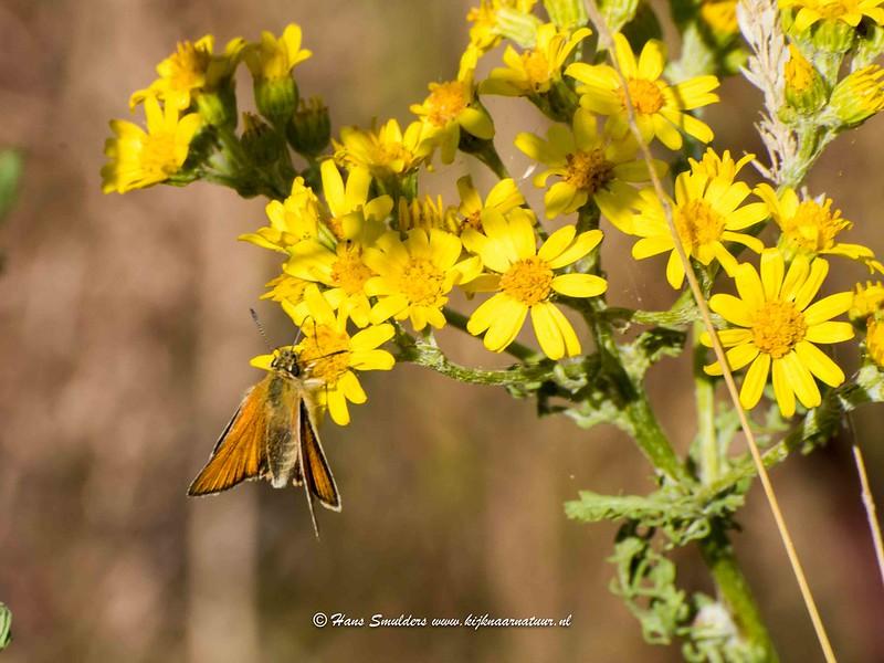 Zwartsprietdikkopje (Thymelicus lineola)-818_5045