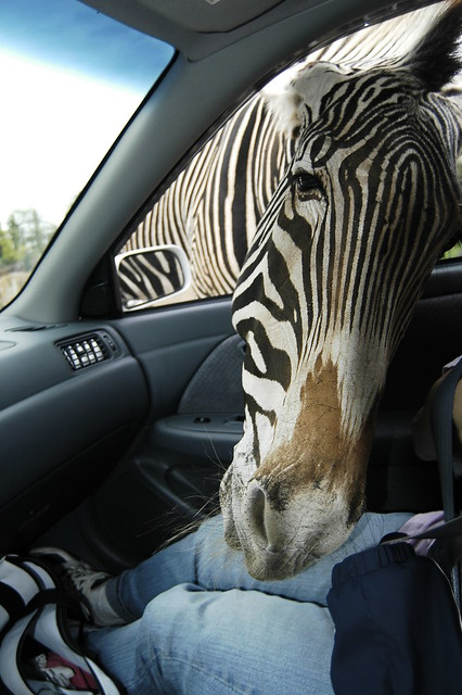 HELP! There's a zebra in my car!