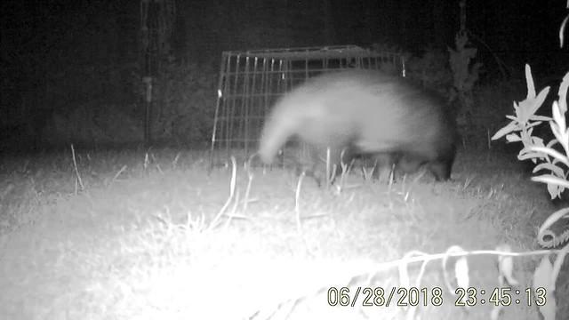 Night visitor 1