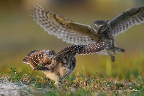 sanibel2018 burrowingowls capecoral bird owl chick owlet fight avian nature wildlife ngc