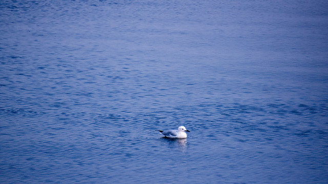 A gull swimming at Egypt's Lake Qaron in Fayoum