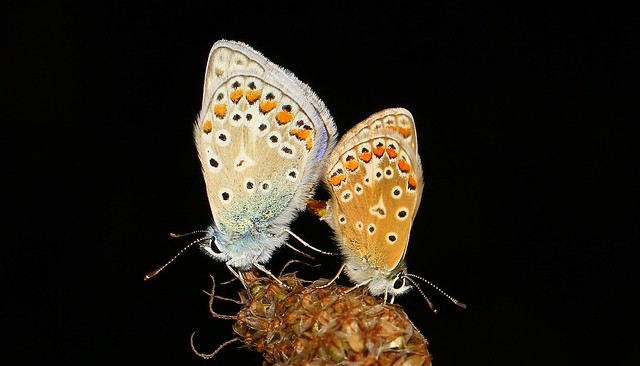 Common Blue Mating (Polyommatus icarus) 210718 (11)