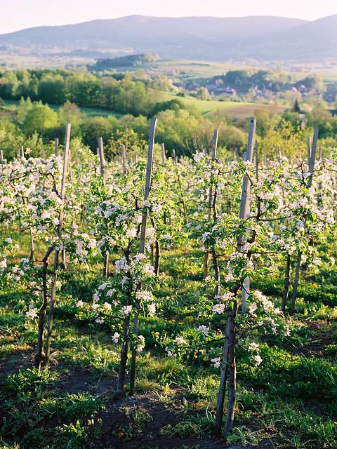Kwitnące jabłonie / Blooming apple trees