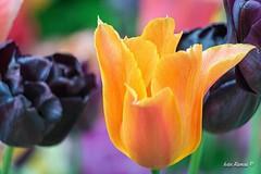 My lovely orange tulip⠀ #keukenhof #netherlands #spring #orange #tulip #color #flower #beautiful #garden #park #flowers #isolated #nikon #nikonistas