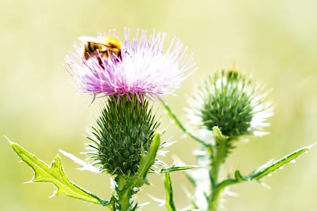 Biene auf Mariendistel
