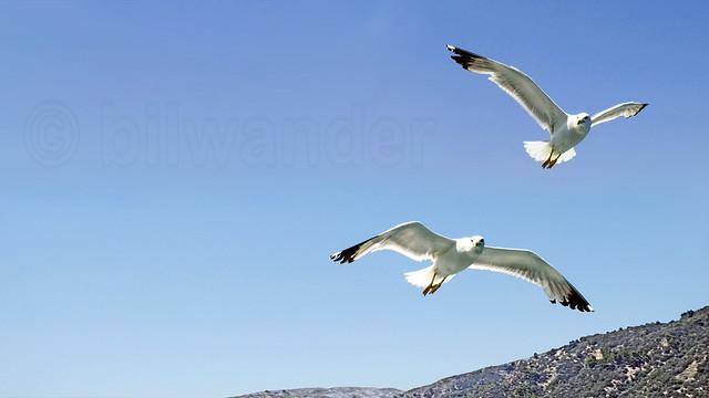 Greece, Macedonia, Aegean Sea, seagulls while cruising around Mount Athos peninsula