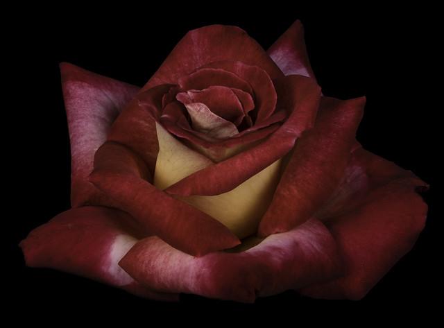 Dick Clark Rose