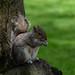 "<p><a href=""https://www.flickr.com/people/el_mo/"">ELIA MORA</a> posted a photo:</p>  <p><a href=""https://www.flickr.com/photos/el_mo/41135196630/"" title=""Squirrel in Chester, UK 2018""><img src=""https://live.staticflickr.com/1791/41135196630_169ac01b2e_m.jpg"" width=""240"" height=""160"" alt=""Squirrel in Chester, UK 2018"" /></a></p>"