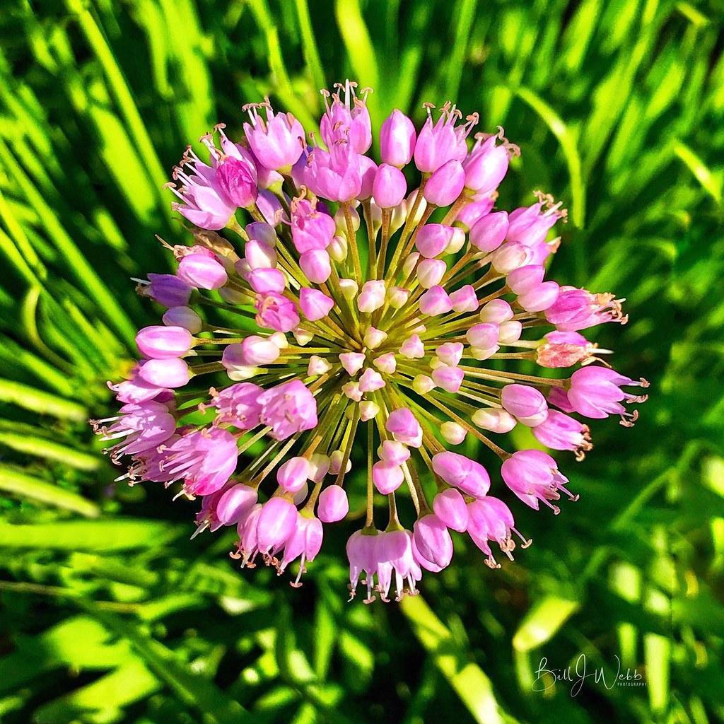 Flower Fireworks Allium Bill Webb Flickr
