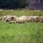 Schafe in der Walsumer Rheinaue