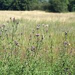 Wiese mit blühenden Acker-Kratzdisteln (Cirsium arvense) in der Heisinger Ruhraue