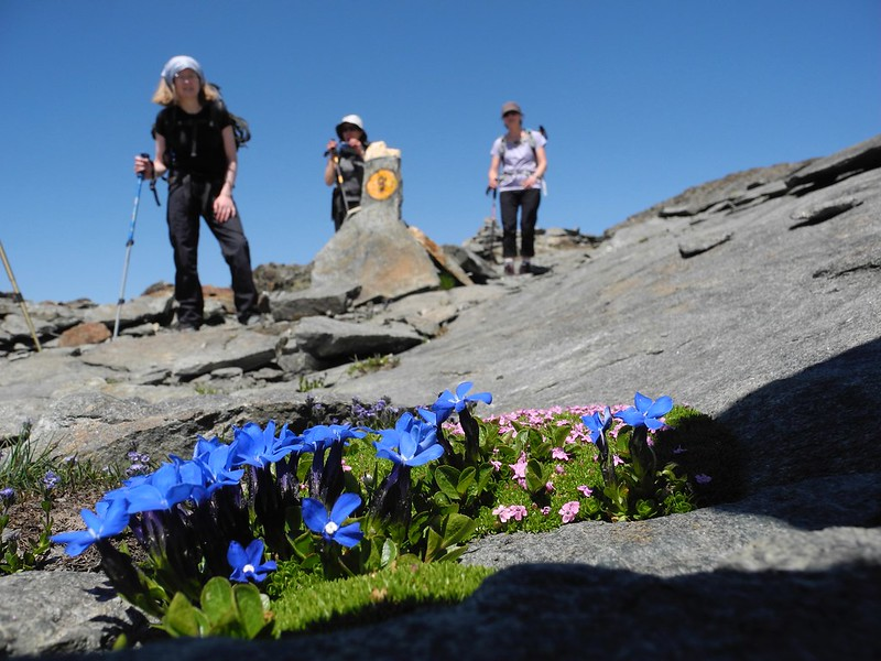 Spring gentians on the ridge between Val d'Ayas and Gressoney