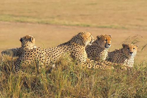 The 5 Male Cheetahs, Maasai Mara | by Ray in Manila