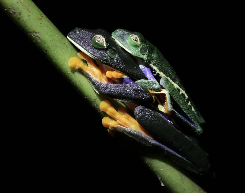 Red-eyed Tree-Frog, Agalychnis callidryas_199A5201