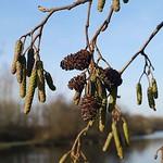 Schwarzerle (Alnus glutinosa) am Ümminger See