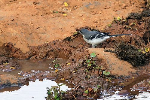 Mountain wagtail | by dmmaus