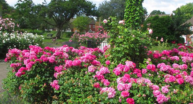 Golden Jubilee Rose Garden