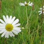 Geruchlose Kamille (Tripleurospermum maritimum inodorum) in der Rheinaue Walsum