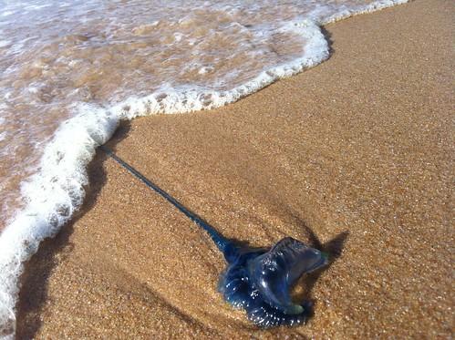 elongated blue sea jelly   by ravelite