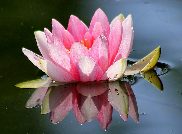 Reflection-Water lily ~🌸~