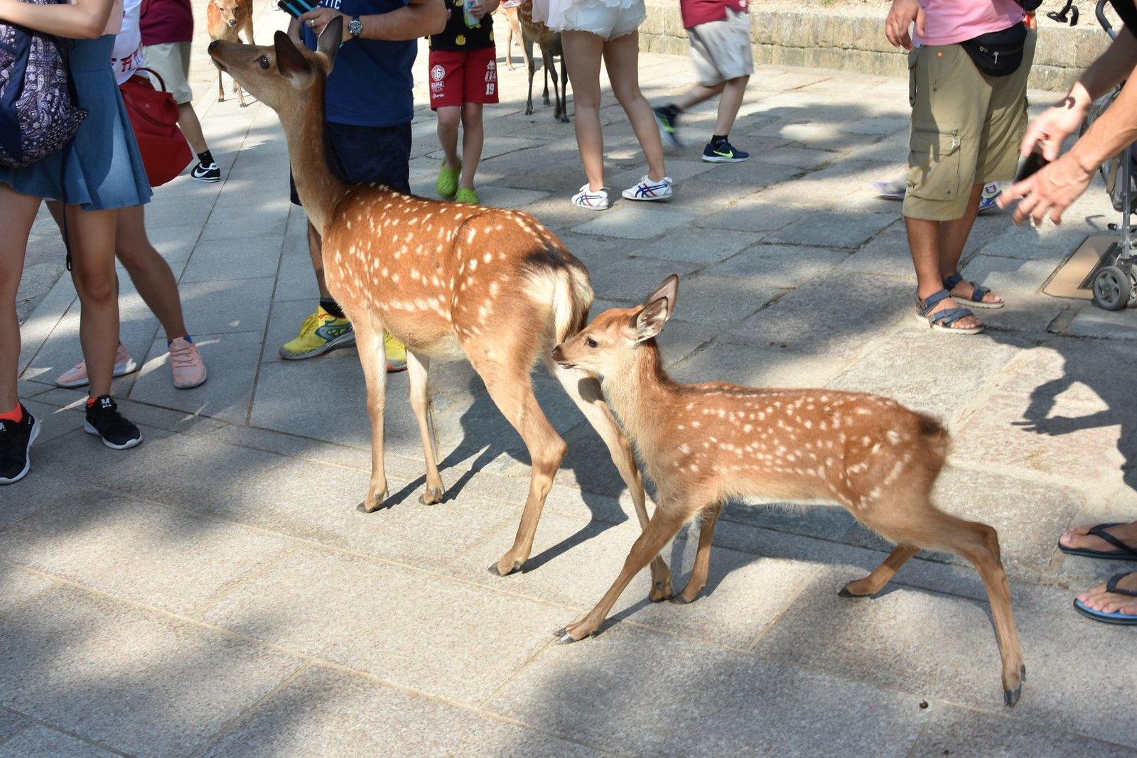 Nara - au pays de Bambi