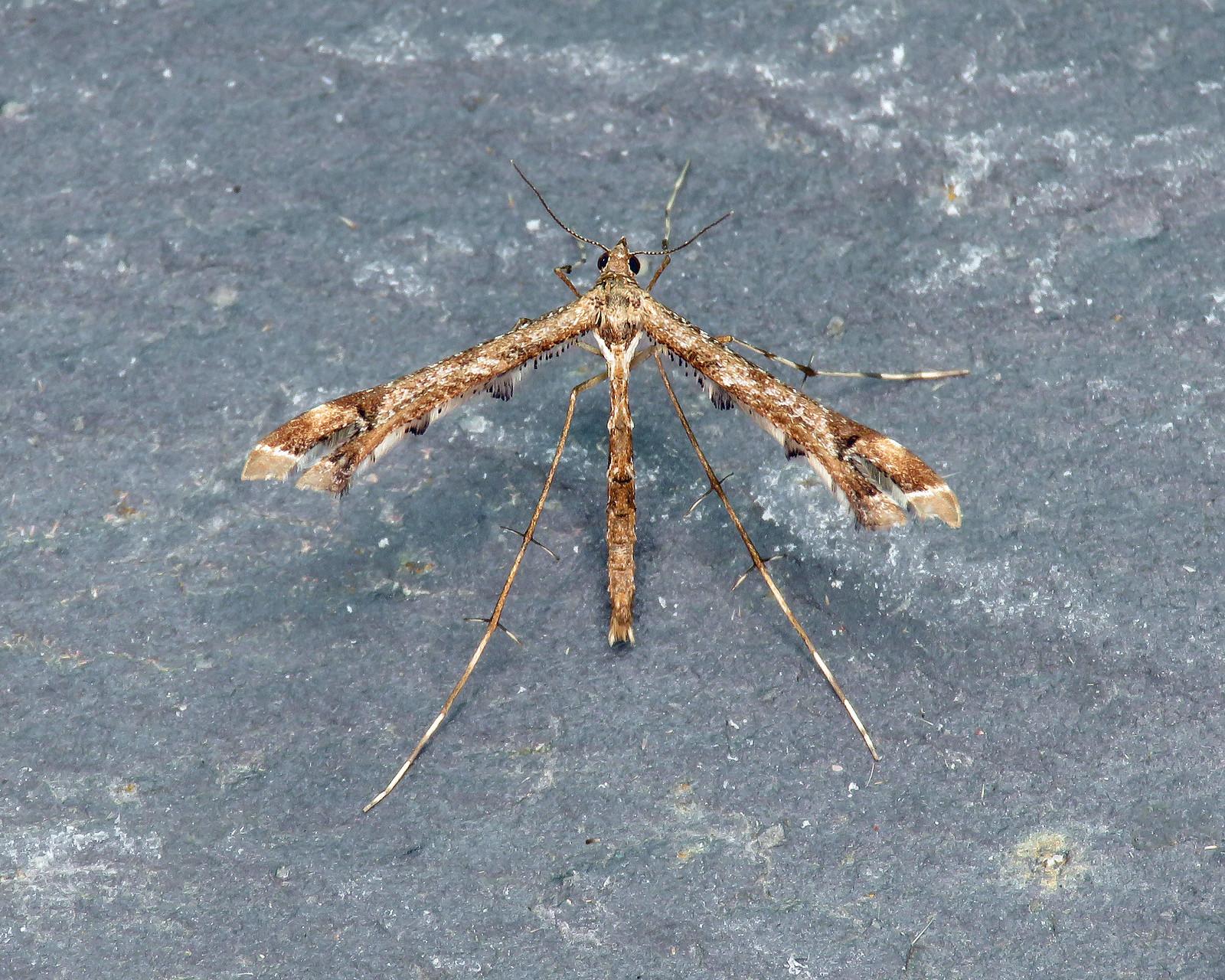 45.010 Beautiful Plume - Amblyptilia acanthadactyla