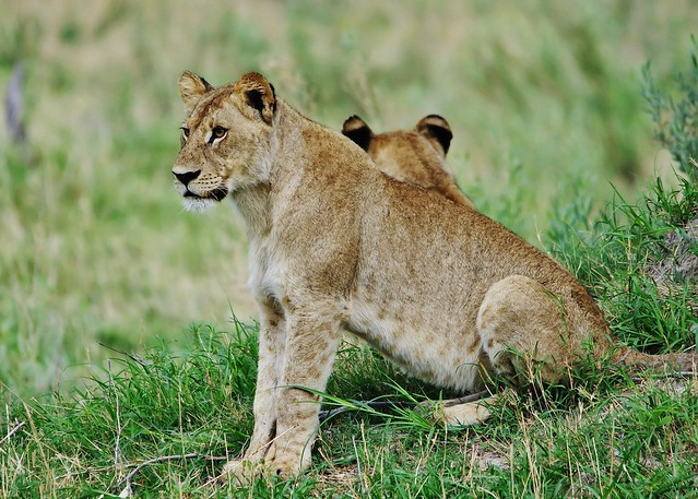 Lion Cub (Panthera leo)