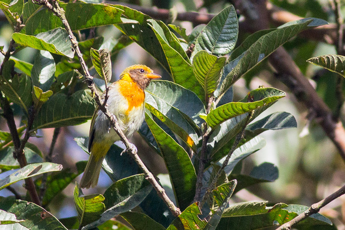 Guira Tanager  - male