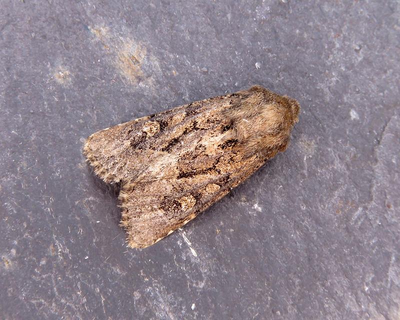 73.131 Flounced Rustic - Luperina testacea