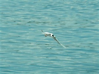 Forster's Tern | by robertnelson8
