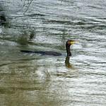 Kormoran (Phalacrocorax carbo carbo) schwimmt im Ruhrhochwasser in der Heisinger Ruhraue