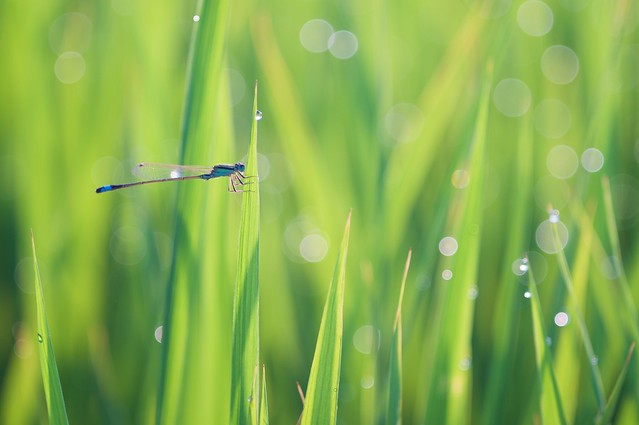 DSC03853 Rice Field