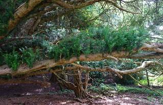 Yew tree in Kingley Vale 1