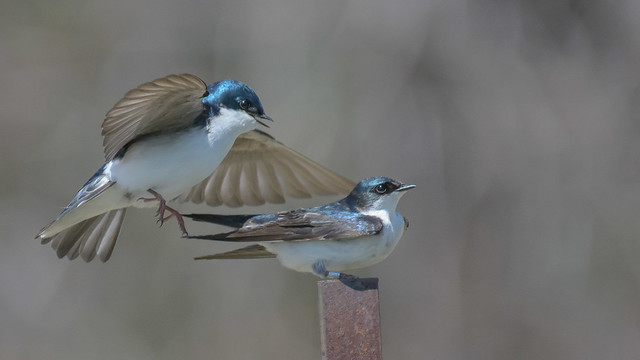 Tree Swallows-6230