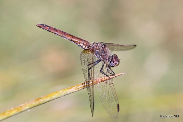 Trithemis annulata  (Palissot de Beauvois, 1807)♀ adulta (11-393A9757)