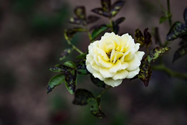 Bleach Bypass Rose