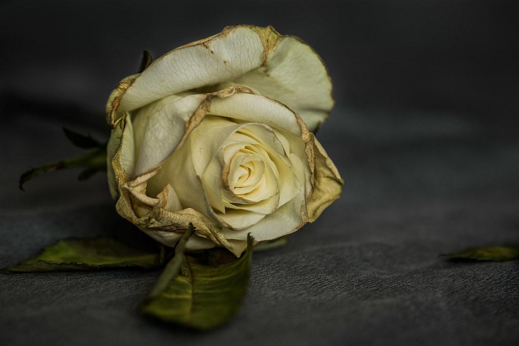 Dead rose (1 of 2)  (Explore #031) | Past it's 'best' but st… | Flickr