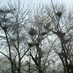 Nester der Graureiherkolonie des NSG Heisinger Bogen im Winter