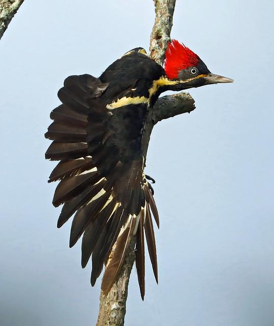 Lineated Woodpecker --- Dryocopus lineatus