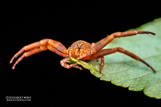 Crab spider (Cyriogonus sp.) - DSC_6743 | by nickybay