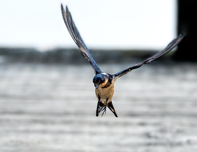 Hirondelle rustique --- ---  Barn swallow ---   ---    Golondrina común