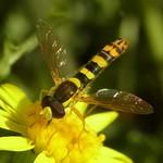 Gemeine Stiftschwebfliege (Long Hoverfly, Sphaerophoria scripta), Männchen