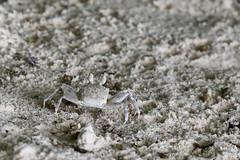 Beach crab...
